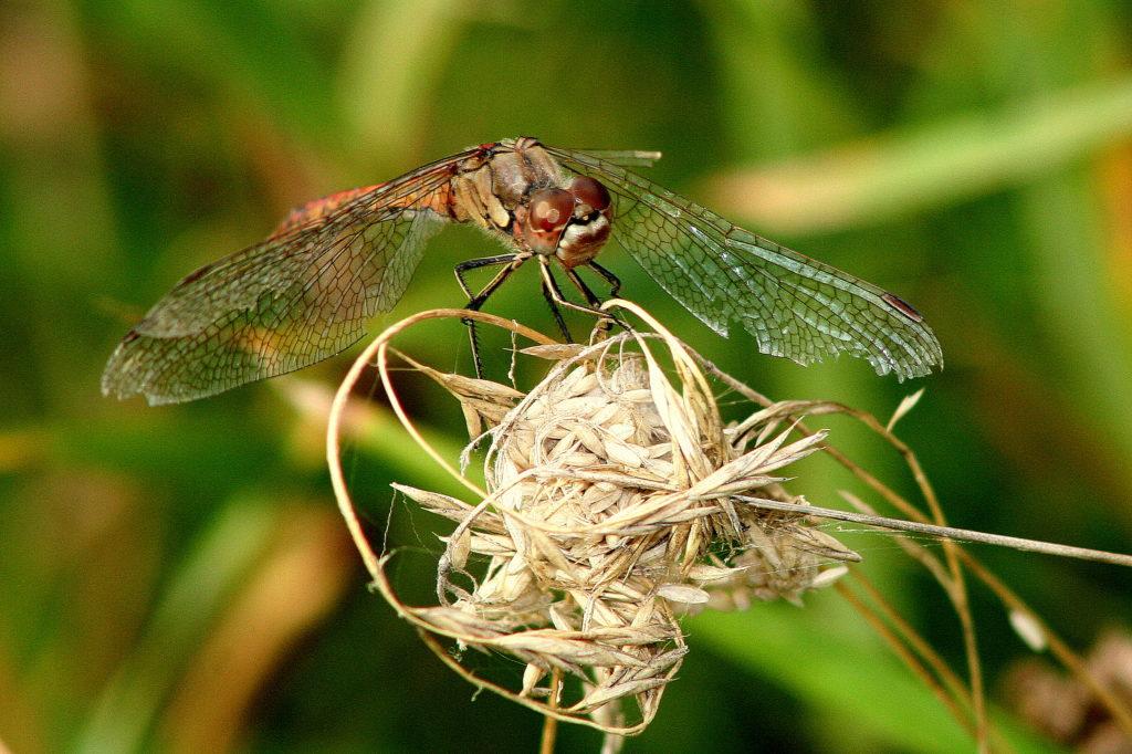 guldsmed i sol