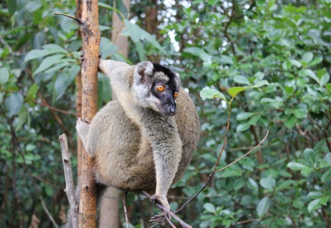 lemur i regnskov